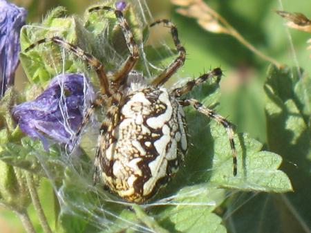 Araneus ceropegius