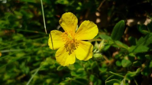 Héliantheme à grandes fleurs P1030156.JPG